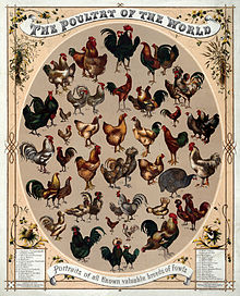 Top 10 Sustainable Chicken Varieties.